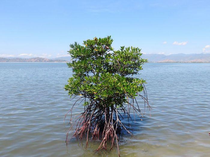 Mangrove Mangrove Mangrove Forest Mangroves Mangrove Swamp Mangroveplant Mangrove Life Mangrove Tree Mangrove Plant Plant Plant Life Plants 🌱 Sea Beach Beach Plants Water Plant