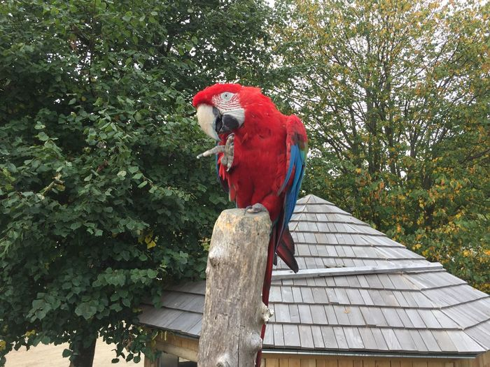 Low angle view of scarlet macaw perching on wooden post