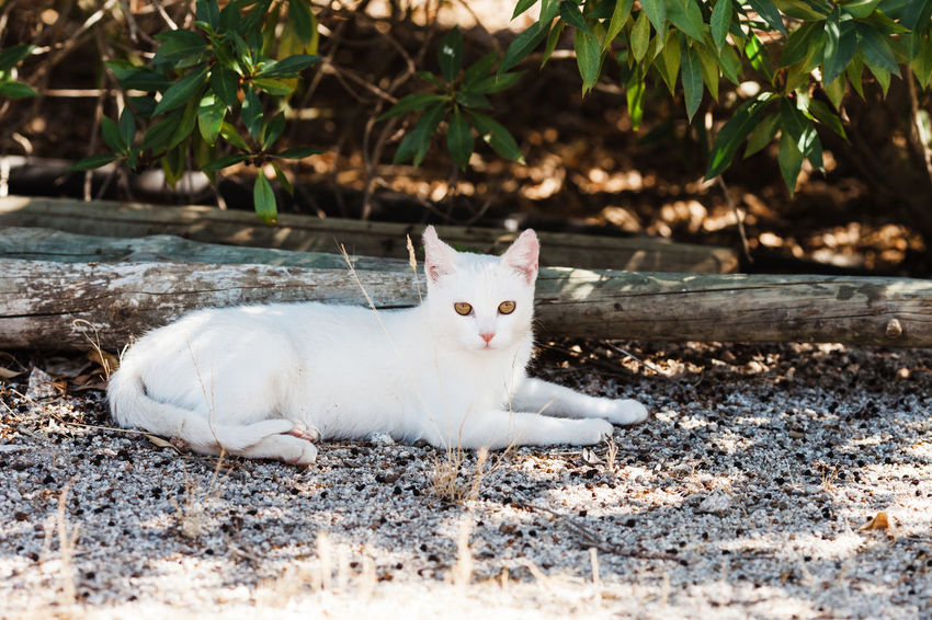Cat Day Domestic Domestic Animals Domestic Cat Feline Land Looking At Camera Mammal Nature No People One Animal Pets Portrait Selective Focus Vertebrate Whisker White Color