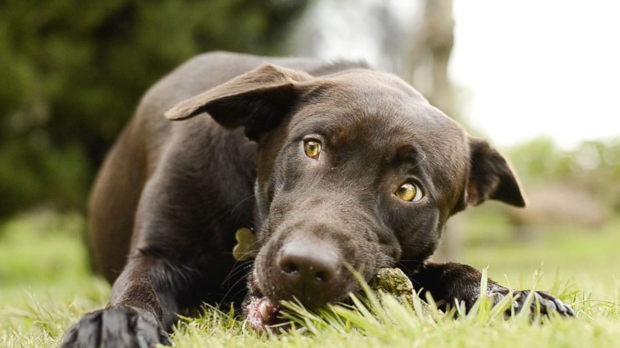 INSTAGRAM : @ptafoto16 Animal Themes Black Labrador Bogotacity Bogotá Close-up Colombia Colombia ♥  Colorful Colors Day Dog Domestic Animals EyeEm Nature Lover Eyes Are Soul Reflection Grass Mammal No People One Animal Outdoors Pets Relaxation