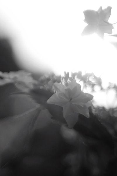 Pentax K-5 Bw_lovers EyeEm Gallery Pentax Bw_collection Monochrome Oldlens Black & White BW Collection Blackandwhite Flower Photography Jupiter9 Flowerporn Hasedera Bwflower