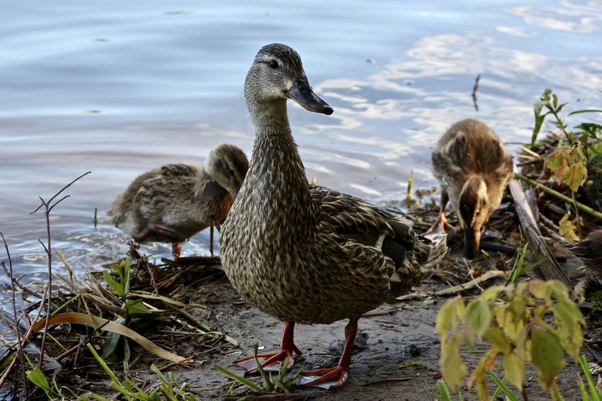 Animal Themes Animal Wildlife Animals In The Wild Bird Close-up Day Duck Duckling Lake Nature No People Outdoors Togetherness Water