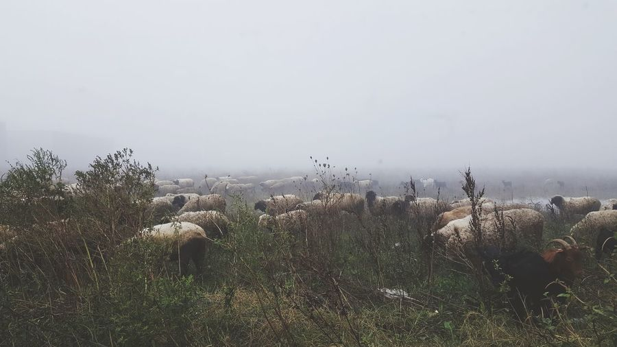 Nature No People Day Outdoors Animals In The Wild Growth Animal Themes Landscape Mammal Grass Beauty In Nature Sky Romania Sheeps Sheep Herding Sheep Cityscape Autumn Colors Romanian Lands