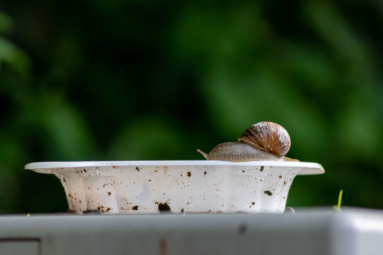 Big striped grapevine snail with a big shell on a white dish shows interesting details of feelers