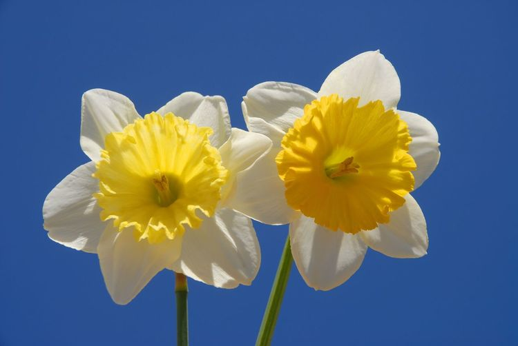 Close-up of yellow daffodil against blue sky