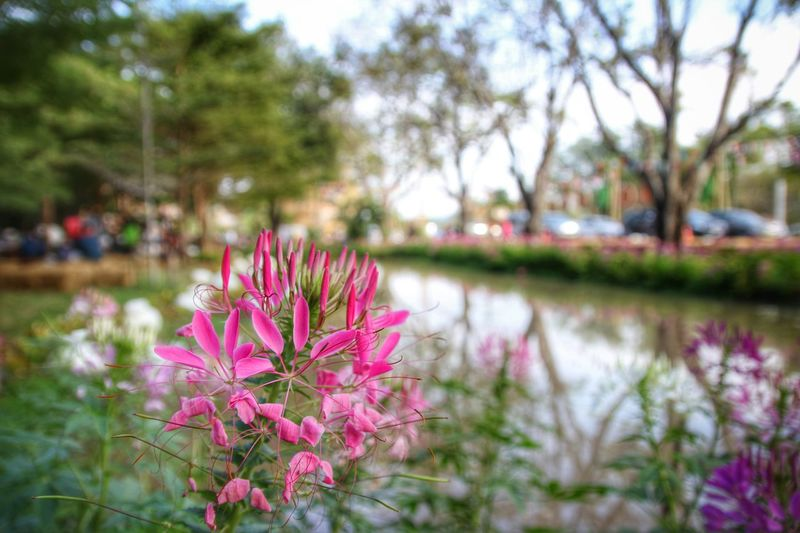 ดอกไม้ ดอกผักเสี้ยนฝรั่ง สีชมพู ดอกไม้สีชมพู Flowers Flower Flower Collection Flower Photography FlowerPink Pink Flower Pink Pink Flowers Cleome Spider Flower Spiderflower Capparaceae Beauty In Nature
