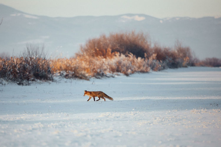 Animals In The Wild Nature Animal Themes Animals In The Wild Beauty In Nature Beauty In Nature Cold Temperature Day Field Fox Landscape Mammal Mountain Mountain Range Nature No People One Animal Outdoors Scenics Sky Snow Sunrise Sunset Weather Winter