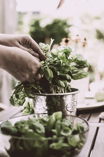Woman's Hands Picking Basil Leaves