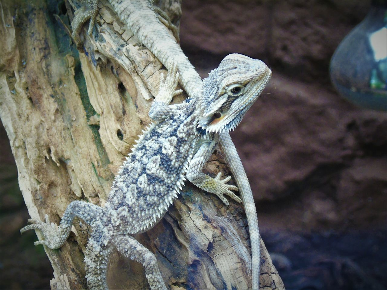 reptile, animal themes, animals in the wild, one animal, animal, lizard, vertebrate, animal wildlife, bearded dragon, focus on foreground, close-up, no people, day, nature, outdoors, tree, branch, solid, rock, zoology, animal scale, animal head, iguana