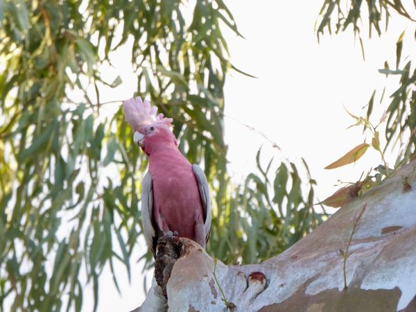 Australian Birds In The Wild Pet Portraits Pink & Grey Cockatoo Animal Themes Bird Close-up Cockatoo With Beautiful Crest In Perth Australia Nature No People Perching Tree