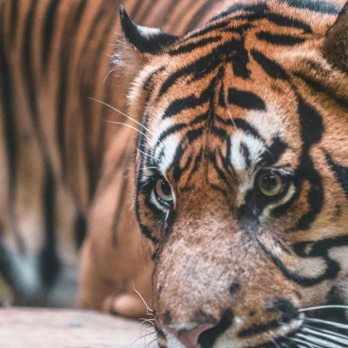 Eye of the Tiger Portrait Tiger Looking At Camera Close-up First Eyeem Photo