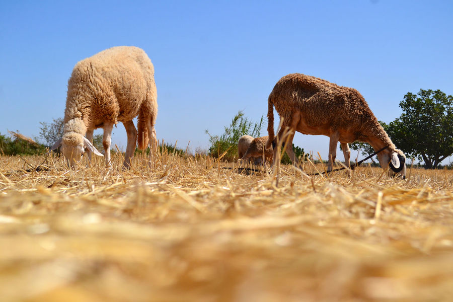 Agriculture Beautiful Beautiful Nature Clear Sky Field Hay Nature No People No Person Outdoors Sheep Sky Straw Summer Sun Yellew EyeEm Selects EyeEmNewHere