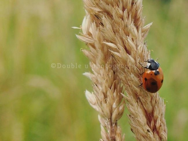 EyeEm Selects Cereal Plant Agriculture Wheat Close-up Nature Plant No People Outdoors Grass Photograph Fragility Tranquility Olympus Camera Nature_collection Selective Focus Focus On Foreground Beauty In Nature Grass Plant Day Ladybug🐞 Animal Themes Animal Wildlife