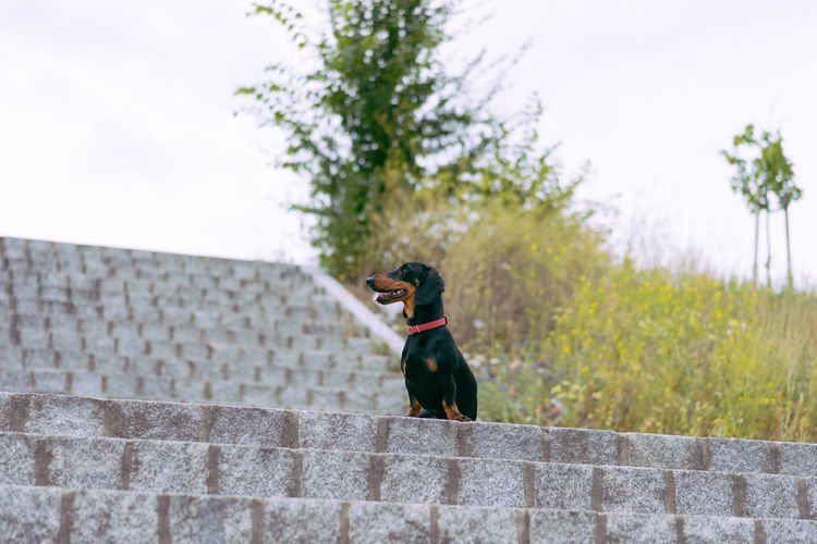 Dachshund One Animal Animal Themes Animal Canine Dog Mammal Domestic Pets Domestic Animals Vertebrate Day Plant Wall Focus On Foreground Nature No People Sky Retaining Wall Sitting Black Color Mouth Open Stone Wall Wienerdog Minimalism