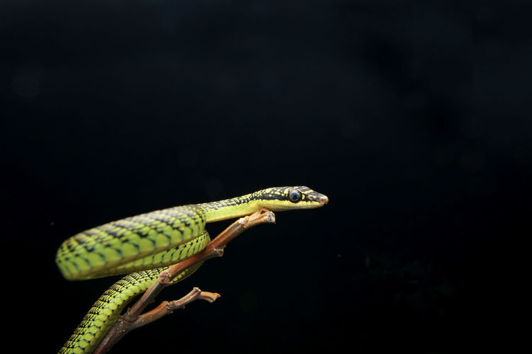 Close-up of a lizard over black background