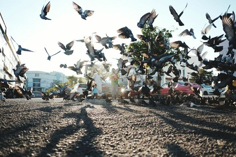 The pigeon Day