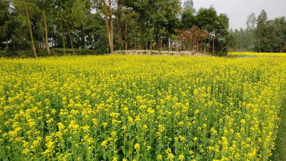 Mustard Fields Yellow Mustard Plant Mustard_yellow Mustard Field Mustard Flower Oneplus3 NoEditNoFilter