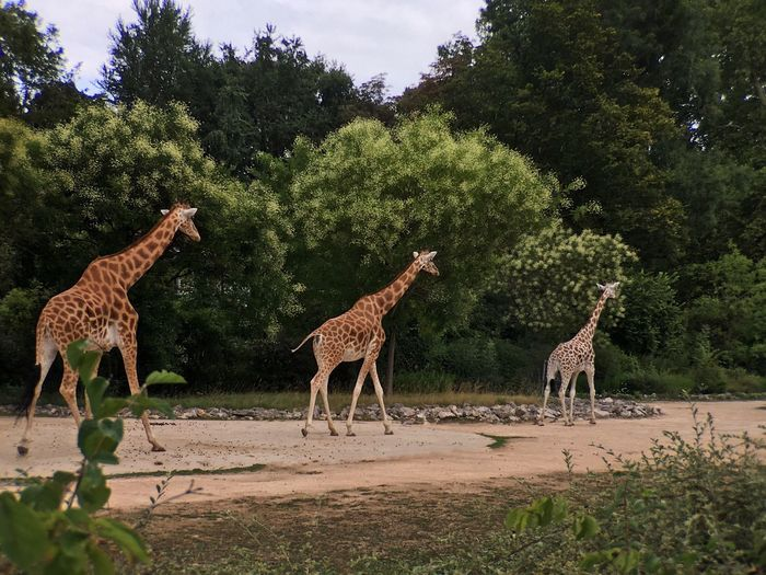 Tree Animals In The Wild Mammal Animal Themes Standing Giraffe Animal Wildlife Day Outdoors Nature Green Color No People Full Length Sky Water Cheetah