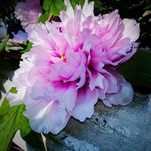 EyeEm Nature Lover Big Pink World Beautiful Flower Big Flower Springtime♥♡ Sunny🌞 I Love Springtime Pink Flower Welcome Spring!