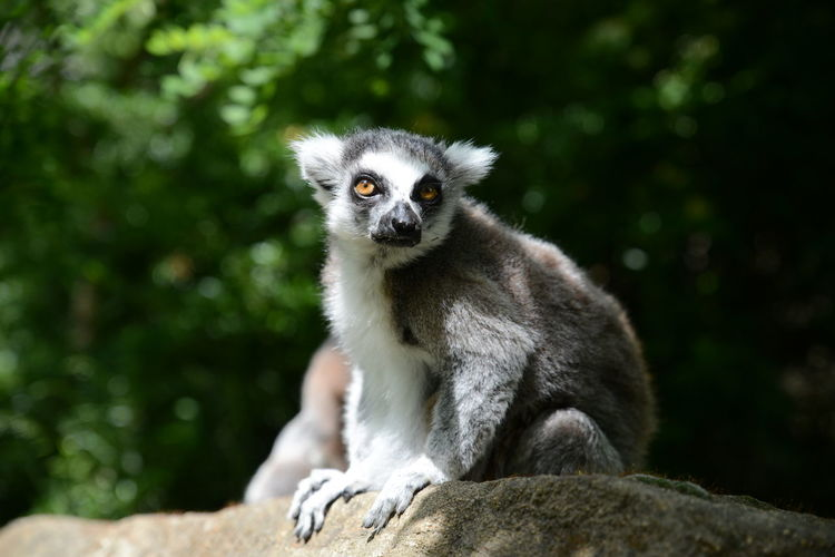 Portrait of lemur sitting on rock against trees