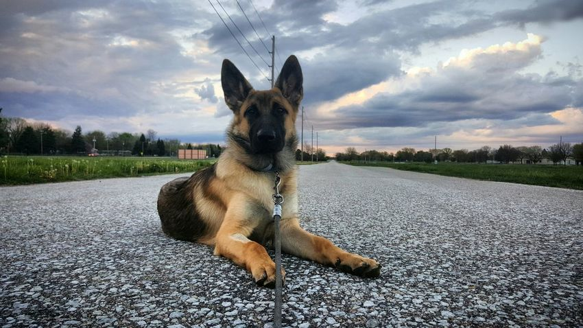 German Shepherd GSD Belgian Malinois Sunset Puppy