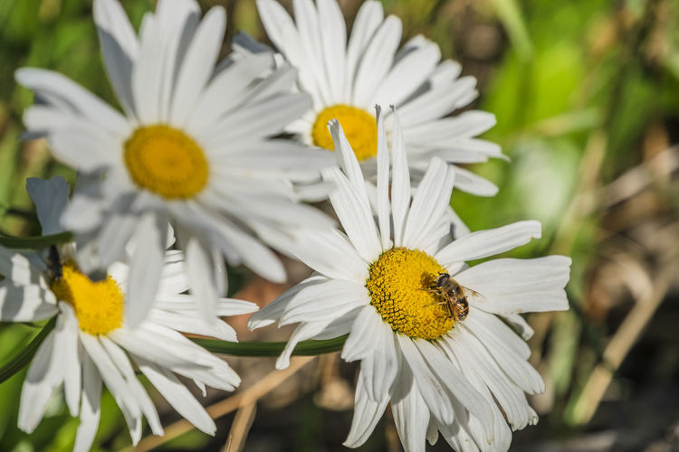 Flower Flowering Plant Vulnerability  Fragility Plant Petal Freshness Beauty In Nature Flower Head Growth Inflorescence Close-up Pollen White Color Yellow Nature Focus On Foreground Day Daisy No People Outdoors Springtime Softness