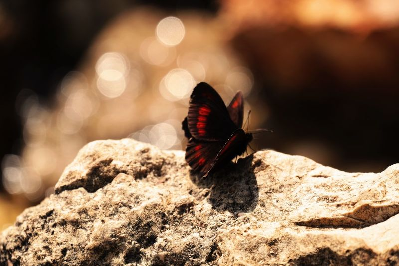 Butterflies making love Animal Themes Animal Wildlife Animals In The Wild Beauty In Nature Butterflies Butterfly - Insect Copulating No People Sunny Day Perspectives On Nature Be. Ready.