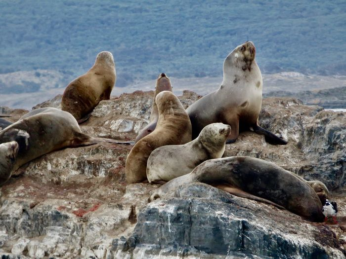 High angle view of sea lions on rock