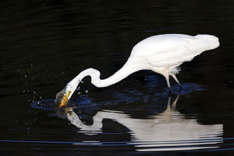 Egret In Lake