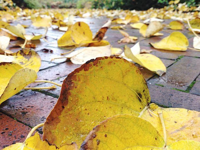 Yellow leaves. Yellow Leaves Autumn Autumn Leaves Ground Garden Royal Botanic Gardens Scotland Edinburgh
