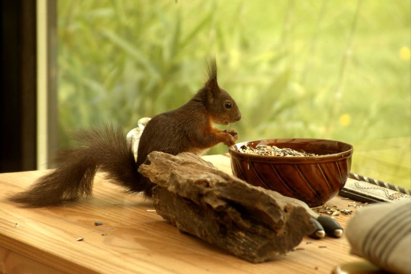 Squirrel by bowl of wood chips on table by window