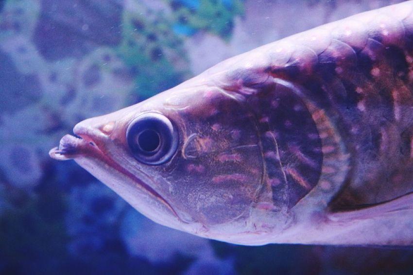 Fish, Close-up Fish Eyes Arowana Fish Fish Tank Fish