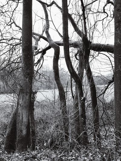 Black And White Trees Tree Area Tree Trunk Nature Black And White Photography Tree Branch Sky Bare Tree