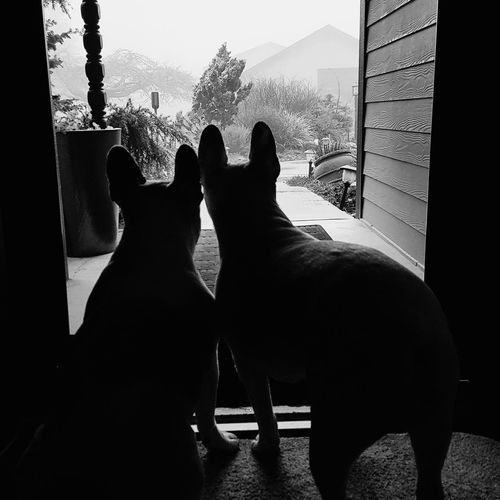 Is mom home? Frenchie French Bulldog Frenchbulldog Waiting Silhouette Window Home Interior Sitting Sky Close-up Looking Through Window