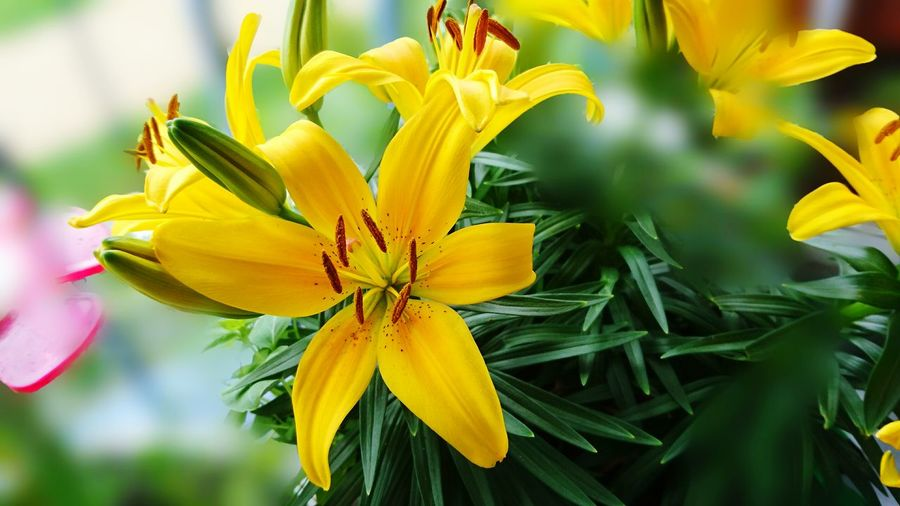 Close-up of yellow lilies blooming in park
