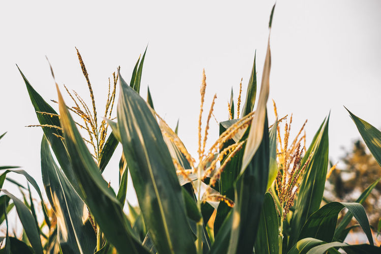 corn Growth Plant Close-up Sky Agriculture Nature Beauty In Nature Tranquility Day Field Farm No People Crop  Green Color Rural Scene Cereal Plant Land Clear Sky Sunlight Plant Part Outdoors Backgrounds Corn Field Farming Foliage Isolated Nature Copy Space Green Color Yellow Flower Selective Focus Head Shot  Photography Golden Hour Sunset Glowing Leaves Plant Cultivation Farm White Space Sun Rays Light And Shadow Food Business Export Quality Agribusiness Cornfield Carbohydrate - Food Type Sweet Organic