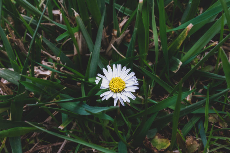 Flowering Plant Flower Plant Vulnerability  Fragility Freshness Growth Beauty In Nature Flower Head Inflorescence Petal Close-up Nature Field White Color Day Land Green Color Yellow No People Pollen Gazania Blade Of Grass
