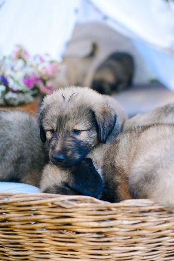 Puppy in Basket