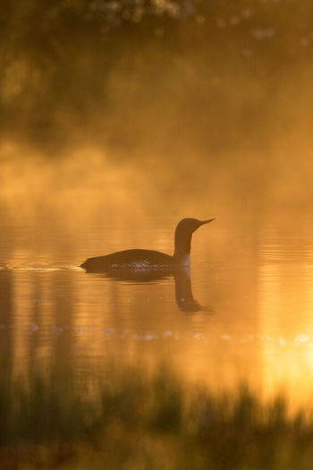Duck swimming in lake during sunset