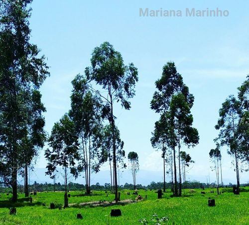 Tree Field No People Plant Social Issues Agriculture Growth Nature Green Color Landscape Grass Outdoors Day Sky Nature Photography Naturelovers Natureza NaturezaMaravilhosa Verde Pindamonhangaba