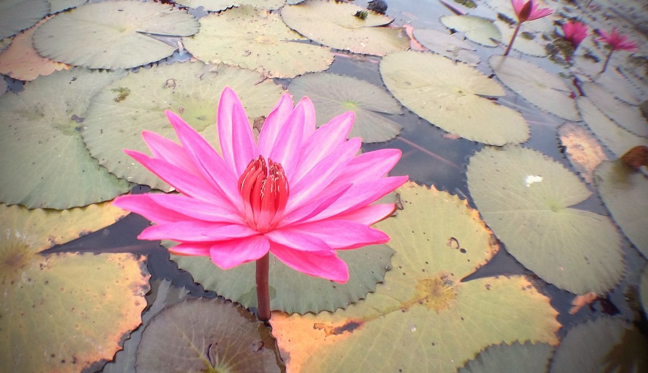 flower, petal, fragility, leaf, beauty in nature, flower head, nature, growth, pink color, outdoors, high angle view, day, no people, freshness, plant, close-up, water lily, blooming, lotus water lily, water, lily pad