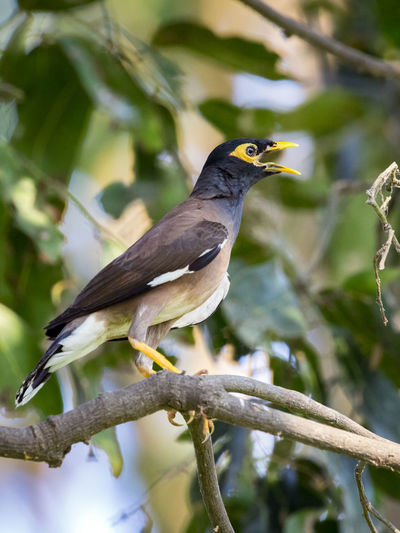 Image of common mynah bird on the branch on nature background. Wild Animals. Common Mynah Animal Themes Animal Wildlife Animals In The Wild Bird Branch Close-up Day Focus On Foreground Nature No People One Animal Outdoors Perching Tree