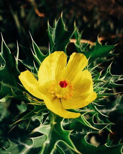 Flora 🌹🌸🌼🌻🌺 Flower Flowerporn VSCO Vscoshot Vscomobile Vscomood Vscodaily Vscocam VSCOPH Vscophiles Vscogood Vscocliqueph Vscohype Vscopinas Vscofeeds Vscofeedsph Vscogram Vscogrid Vscogrammer Tagsforlikes Tagsforfollow Followback Mobilephotography Photography PictogramPh grammerph