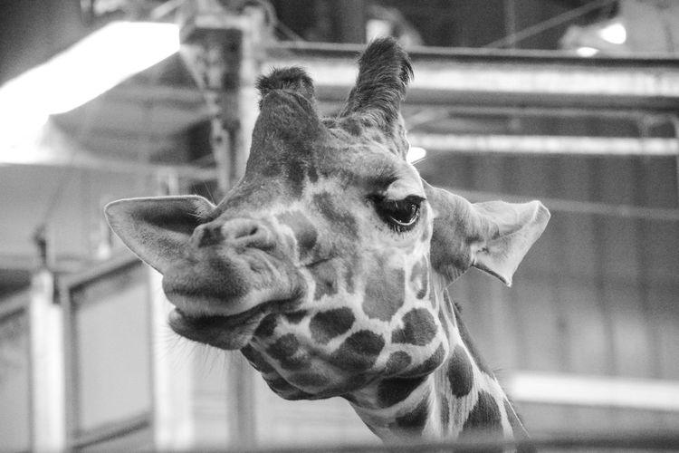 Close-up black and white portrait of a giraffe