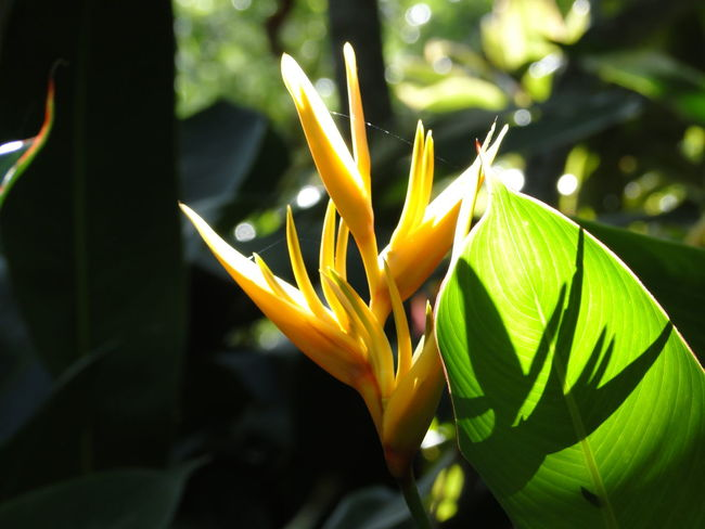 Hawaii Beauty In Nature Bird Of Paradise - Plant Blooming Close-up Day Flower Flower Head Focus On Foreground Fragility Freshness Green Color Growth Leaf Nature No People Outdoors Petal Plant