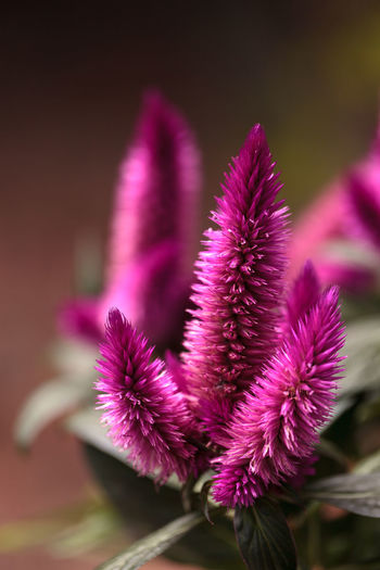 Purple pink flower of Celosia, also known as cockscomb or woolflowers, bloom in Africa, Mexico and even China as a perennial in gardens in summer. Africa Beauty In Nature Celosía Close-up Cockscomb Flower Head Day Flower Flower Head Fuzzy Garden Nature No People Outdoors Pink Plant Purple Purple Flower Woolflowers