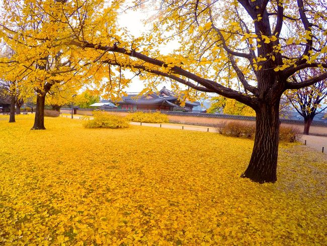 Autumn Beauty In Nature Branch Change Change Color Changes Day Ground Korea Leaves Leaves_collection Nature No People Outdoors Park Seoul, Korea Tree Yellow