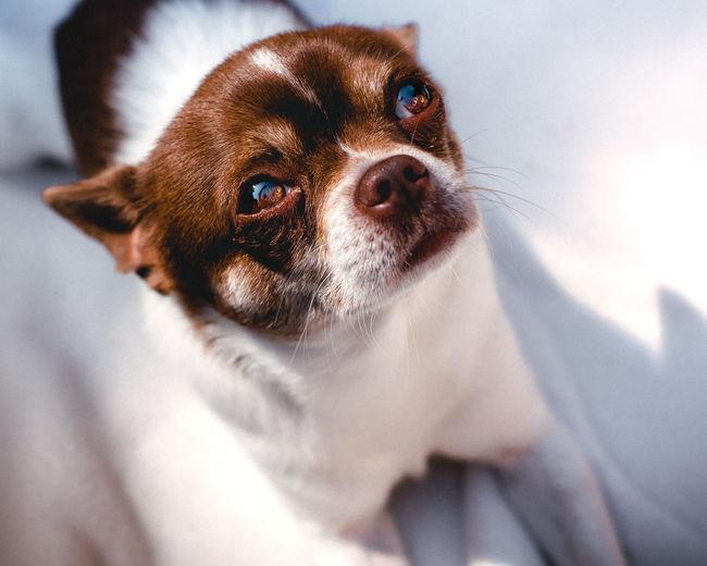 Pets Portrait Dog Looking At Camera Bed Home Interior Close-up Chihuahua - Dog Puppy Chihuahua