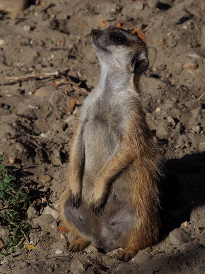 Zoo Animal Animal Themes Animal Wildlife Animals In The Wild Day Field Land Looking Mammal Meerkat Nature No People One Animal Outdoors Rearing Up Rock Rock - Object Sitting Solid Vertebrate Zoobudapest