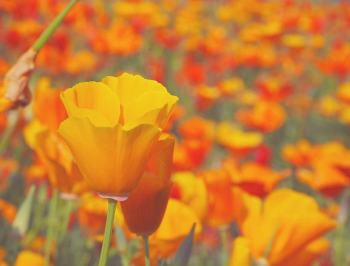 Tulips Tulips Flowers Tulipseason Tulips In The Springtime Blooming Beauty In Nature Growth Fragility Petal Flower Head Freshness Yellow Tulips Yellow Tulip Close Up Close-up Plant Yellow Nature Flower Full Bloom Flower Collection Flowers, Nature And Beauty Flower Photography Yellow Flower Flowers,Plants & Garden